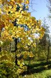Maple trees in autumn Stock Image