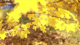 Maple trees. Maple autumn trees. Maple leaves. Yellow and red autumn trees. Amazing autumn. stock video