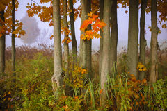 Maple trees in the autumn mist of Vermont. Royalty Free Stock Photos
