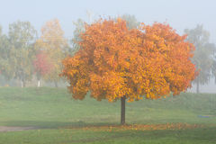 Maple trees in autumn Stock Image
