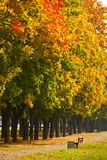 Maple trees in the autumn park Stock Photos