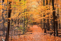 Maple trees in autumn time. Beautiful alley through maple trees royalty free stock photography