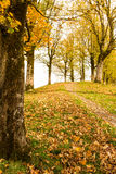 Maple trees in autumn. In vertical format stock photos