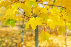 Maple trees in the autumn wood Stock Images