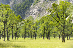 Maple trees in Bavaria. At alps mountains Stock Photo