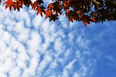 Maple trees and blue sky with clouds stock photography