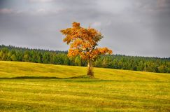 Maple trees with colored leafs in a meadow at autumn/fall daylight.Relaxing atmosphere. Royalty Free Stock Photography