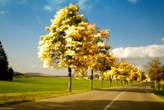 Maple trees with coloured leafs and asphalt road at autumn/fall daylight Stock Photos