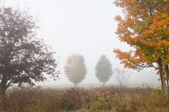 Maple trees during early morning fog. Stock Photos