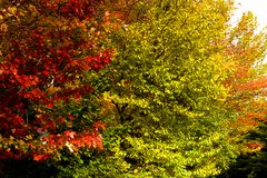 Maple trees during fall foliage royalty free stock photography