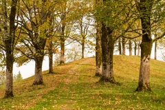 Maple trees in fall. On a hill with yellow leafs stock photography