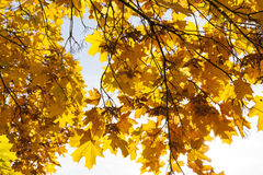 Maple trees in the fall Royalty Free Stock Image