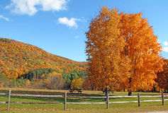 Maple trees and fence in Fall, Plymouth, VT. Sugar Maple trees Acer Saccharum in Fall color Stock Images