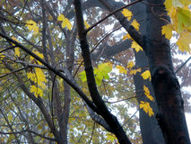 Maple trees in fog. Last yellow leaves on maple trees on a foggy day royalty free stock photo