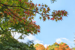 Maple trees in the garden against blue sky during autumn season at Kyoto. Japan stock photography