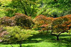 Maple trees. Garden with maple trees of various colors royalty free stock images