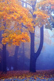 Maple trees. Golden maple trees in the fog Royalty Free Stock Images