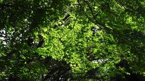 Maple trees at Halla National Park in Jeju, Korea.  stock footage