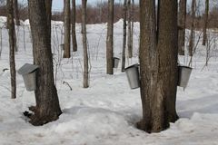 Maple trees. During harvest season stock images