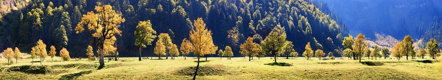 Maple trees in the Karwendel Royalty Free Stock Image