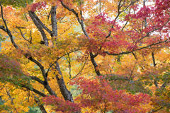 Maple trees in late fall color Royalty Free Stock Image