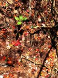 Maple trees leaves fallen in the woods. Maple trees leaves fallen in the wood in autumn New England Connecticut United States stock images