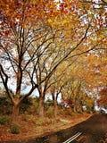 Maple trees @ Leura, Blue Mountains. Beautiful yellow maple trees in Leura, Blue Mountains NSW Australia royalty free stock photo