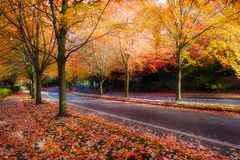 Maple Trees Lined Street during Fall Season royalty free stock photo