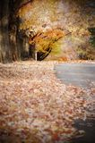Maple Trees. Losing their leaves in the middle of Autumn stock image