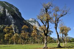 Maple Trees. Old maple trees in Engtal valley in Karwendel mountains in Tirol - Austria stock images
