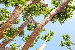 Maple trees. Over blue sky royalty free stock photos