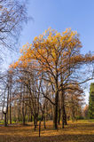 Maple trees in a park Stock Image