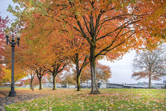 Maple Trees in Portland Downtown Park in Fall. Maple Trees Changing Color in Portland Downtown Waterfront Park in Fall Season Royalty Free Stock Image