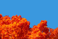 Maple trees with red leaves in Autumn. Against pure blue sky in Montreal, Quebec, Canada stock photos