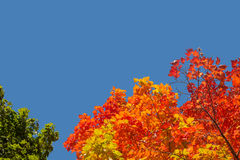 Maple trees with red leaves in Autumn stock photos