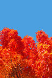 Maple trees with red leaves in Autumn royalty free stock images