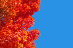 Maple trees with red leaves in Autumn royalty free stock image