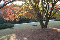 The maple trees in the sun-lushan botanical garden. The botanical garden of Mount Lu is mainly introduced and domesticated plants. It is a famous sub Alpine Royalty Free Stock Image