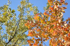 Green and orange maple tree leaves Royalty Free Stock Photos