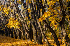 Maple trees with yellow leaves in autumn park Stock Images