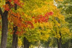 Maple trees with yellow and red leaves in the fall in the park. Autumn theme royalty free stock images