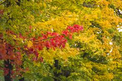 Maple trees with yellow and red leaves in the fall in the park. Autumn theme royalty free stock photo