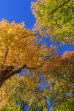Maple treetops. In autumn forest Royalty Free Stock Photos