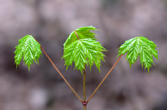 Maple Trinity. Branch with three spaced evenly matched, bright green maple leaves Royalty Free Stock Photography