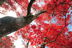 Maple trunk with red leaf Royalty Free Stock Photo