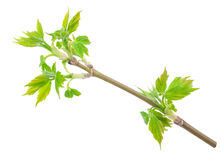 Maple twig with buds Royalty Free Stock Photography
