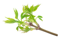 Maple twig with buds Royalty Free Stock Image