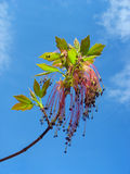 Maple twig with red catkins against blue sky stock images