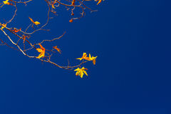 Maple twigs on blue sky background Royalty Free Stock Images