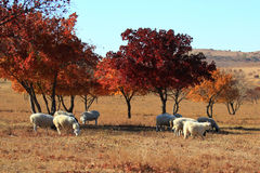 Maple is under grazing herd of goats Stock Photography